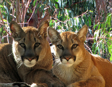 Mountain lions 'Kuma' and 'Kyla' at Sonoma County Wildlife Rescue