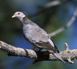 Adult band-tailed pigeon showing the characteristic white crescent and iridescent greenish-bronze patch of feathers on the hindneck. Photo by Gary Kramer, 2008.