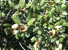 Acorns on a coast live oak (Quercus agrifolia) in Monterey County, a favoriate wintertime food of band-tailed pigeons. Photo by Krysta Rogers, 2011.