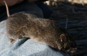 An ear tagged amargosa Vole is ready for release.