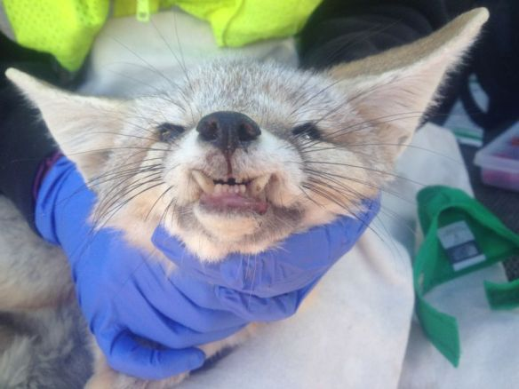 A healed and healthy desert kit fox was recaptured a year after he was found with a broken jaw. While his lower canines protrude a bit, he was in good weight and body condition. Photo courtesy of Deana Clifford.