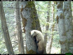 A male fisher (Martes pennanti) is photographed climbing a tree in northeastern California (Photo courtesy A. Facka, NCSU).  Recent work by Gabriel et al. documented rodenticide poisoning and exposure in fishers inhabiting public and tribal lands.