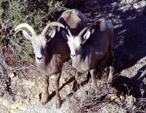 Desert bighorn ewe and lamb