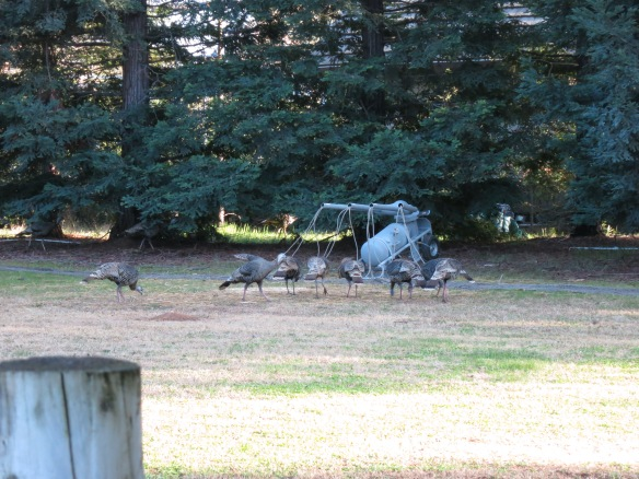 A group of hens feed on the food plot in front of the rocket net.  This is a prime capture opportunity.