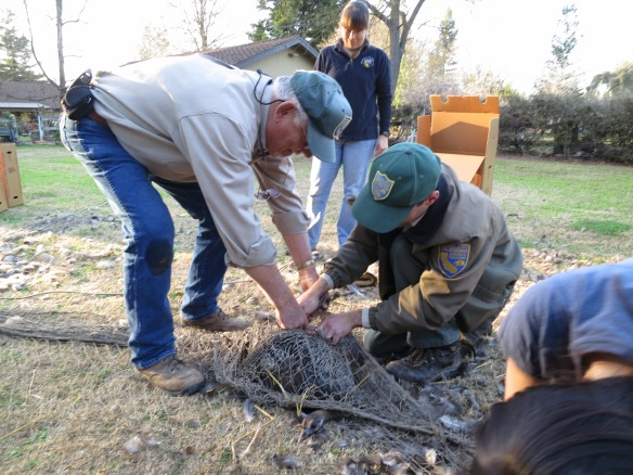 """WIL Environmental Scientist Krysta Rogers gets a transport box ready while Bob """"Turkey Bob"""" and Upland Game Biologist Levi Souza remove captured turkeys from the netting.  Photo credit M. Meshriy."""