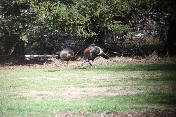 Two turkeys feed in a residential area.  Photo credit Mark Meshriy