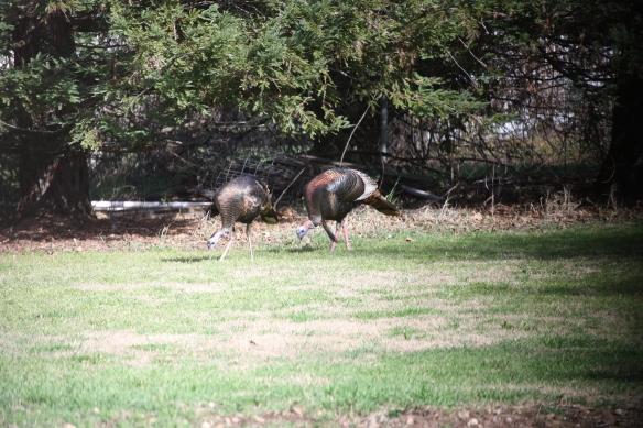 Two turkeys feed in a residential area.  Photo credit Mark Meshriy