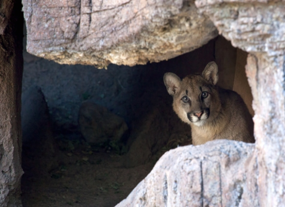 This young California native is the new mascot of the Arizona-Sonora Desert Museum (ASDM) and is looking for a name. Information for the naming contest can be found by clicking here. Photo credit: Rhonda Spencer, ASDM.