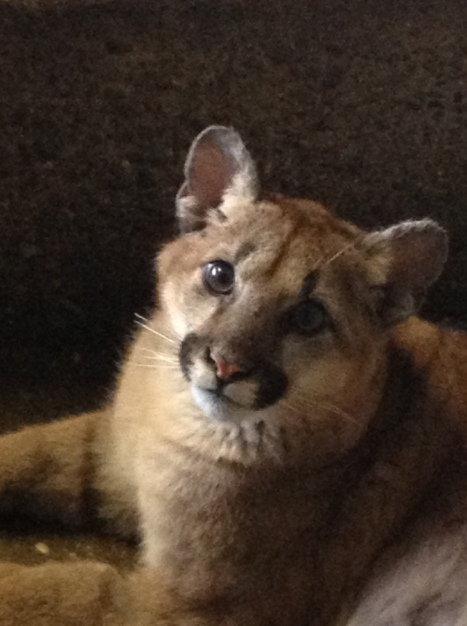 Mountain lion cub (Puma concolor). Photo courtesy Deana Clifford