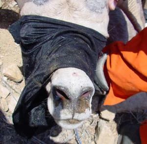 Ewe with mild respiratory disease.