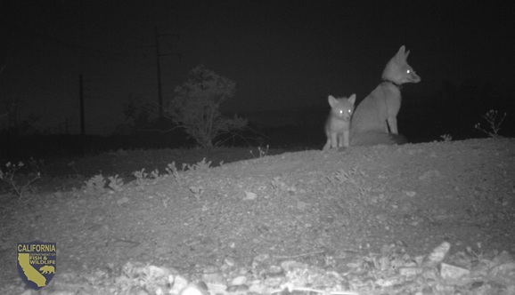 This female desert kit fox keeps a close eye on her den. She has 4 pups that her and her mate have been diligently been providing for.