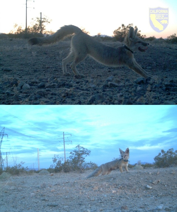 A mated pair of desert kit foxes. The male (top photo), stretches after a night of hunting for both his mate (bottom photo) and himself. These foxes both serve as disease sentinels in the California Department of Fish & Wildlife's (CDFW) desert kit fox disease monitoring project. Each fox is equipped with a radio collar that emits a unique frequency allowing biologists to monitor their survival after an outbreak of canine distemper virus (CDV) occurred in this desert valley the year before.