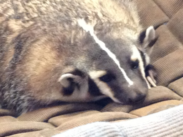 "American badgers are prolific diggers.  Here the badger can be seen ""digging"" a relaxing moment in our hammock. (Photo credit: Deana Clifford, WIL)"