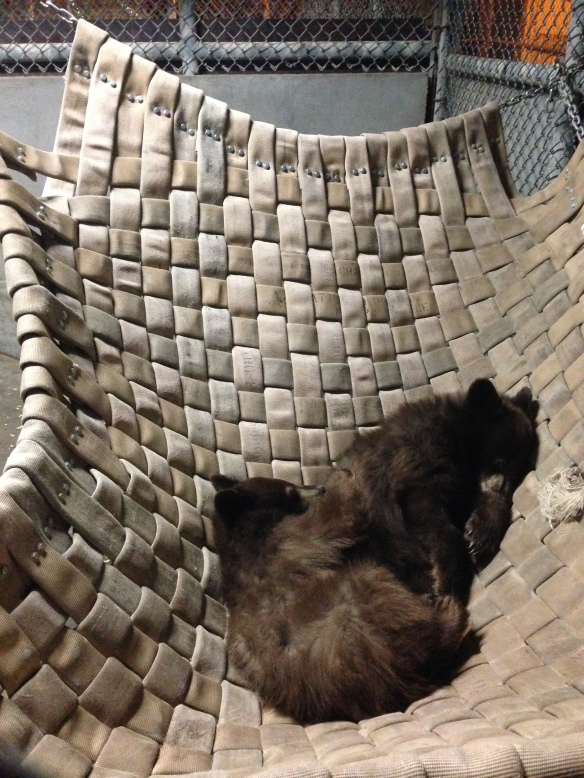 The black bear cubs enjoy an afternoon nap in the hammock. (Photo courtesy J. Sherman)