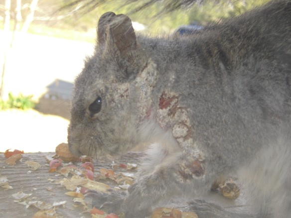A western gray squirrel from the San Bernardino Mountains with signs of mange. Photo courtesy of California Department of Fish & Wildlife News, June 23, 2011.