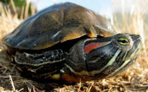 This is a Red-eared Slider (Trachemys scripta), a common turtle in the pet trade. They compete in the wild with our native Western Pond Turtle, so they should never be released. (CDFW photo by Dave Feliz)