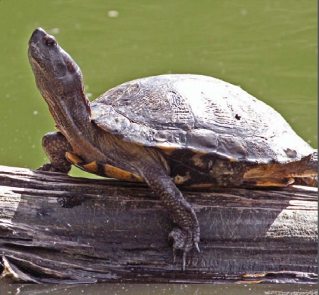 The western pond turtle is California's only native aquatic turtle and a species of conservation concern. (Image courtesy of CDFW Outdoor California March-April 2011)