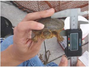 A western pond turtle is being measured as part of a collaborative study to examine their health. (Photo courtesy of C. Silbernagel)