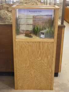 The Amargosa vole display recently installed in the Shoshone Museum, in Shoshone, CA.