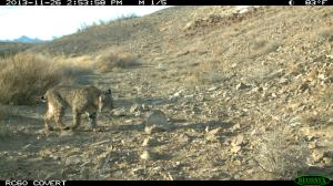A bobcat (Lynx rufus) captured on a trail camera near Tecopa, CA