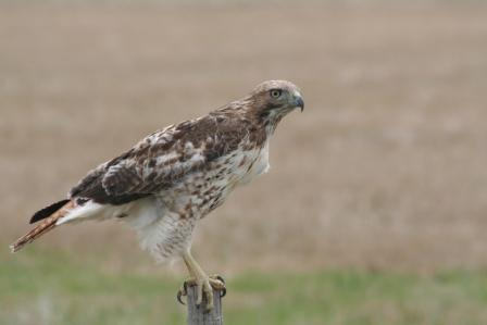 Red tailed hawk.  Photo courtesy of the U.S. Fish & Wildlife Service