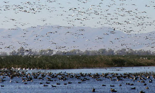Large concentrations of waterfowl seek out remaining suitable habitat. Photo credit: Scott Flaherty, USFWS Pacific Southwest Region.