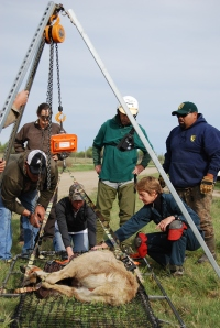 Dr. Annette Roug (right, kneeling) leads a team of biologists as they attempt to weigh a cow elk.  Photo credit: Joe and Nancy Rodrguez.