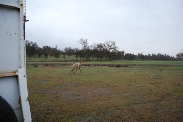 An elk sets eyes on joining its new herd.  Photo courtesy of Joe and Nancy Rodriguez.