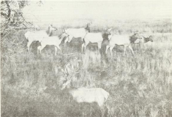 Tule elk of the San Luis National Wildlife Refugre, circa 1970s.  Image source: BLM 3rd Annual Report to Congress on The Tule Elk.