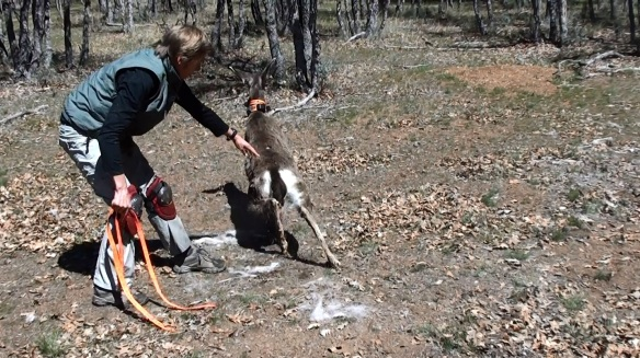 Deer release after GPS collaring and health monitoring - Scott Valley, Siskiyou County.