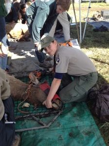 Stabilizing elk for transport to trailer for relocation to another site.