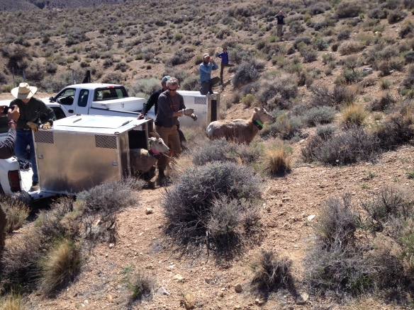 Translocation and release of Sierra Nevada bighorn to augment herd in Olancha