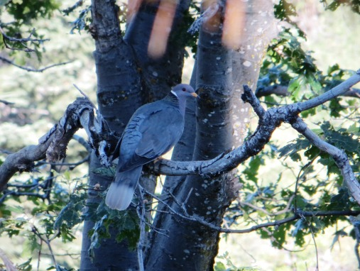Pacific Coast band-tailed pigeon.