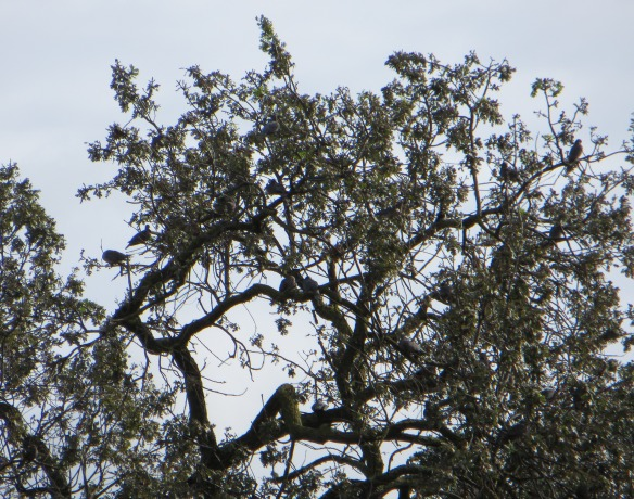 Flock of band-tailed pigeons in oak tree in Santa Clara County. Photo by Krysta Rogers, 2014.