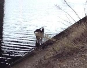 Doe and fawn trapped in canal.