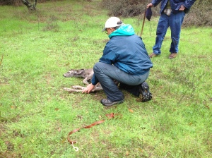 Dr. Ben Gonzales from California Fish and Wildlife releasing the fawn after rescue.