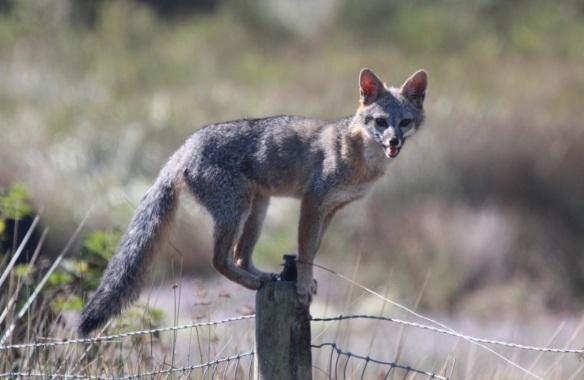 gray-fox