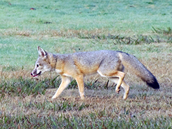 Healthy male San Joaquin kit fox