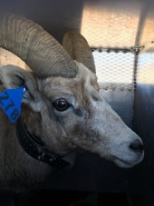 March 2018: Translocated Sierra Nevada bighorn sheep in the Eastern Sierra Nevada Mountains