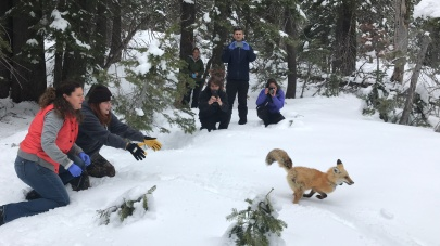 April 2018: Captured and processed Sierra Nevada red fox in Lassen Volcanic National Park in Northern CA as part of population and health surveillance efforts